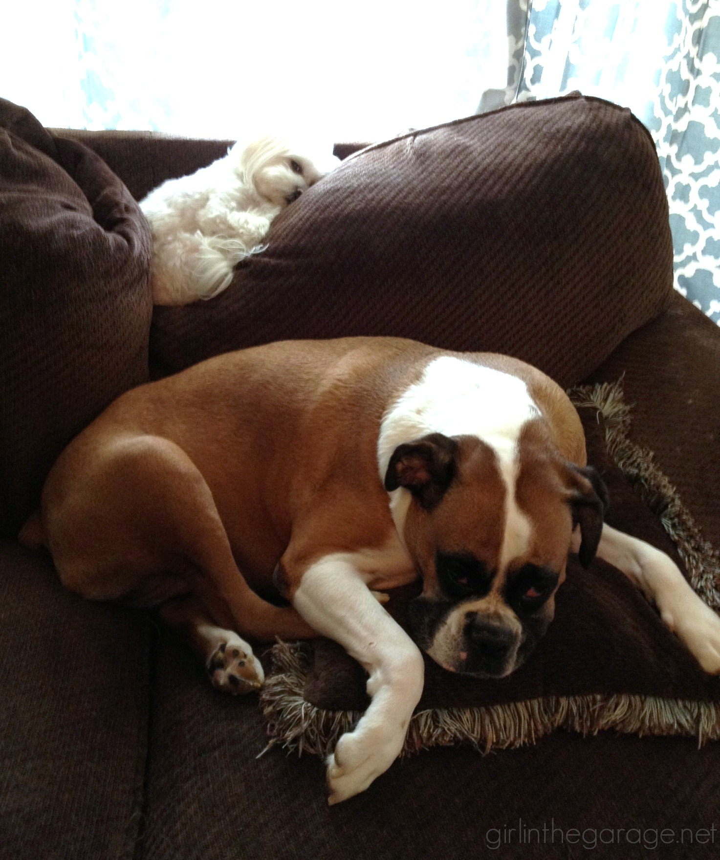 Remembering our sweet boxer Abby. Girl in the Garage
